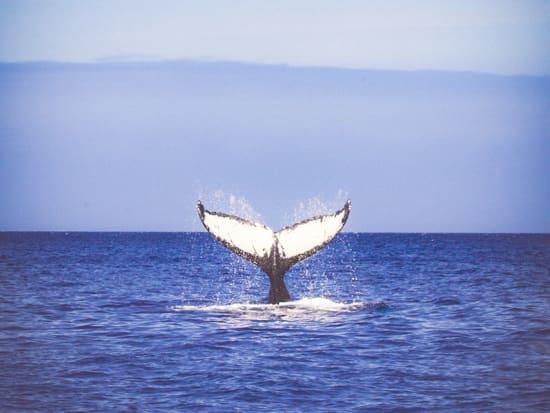 whale fluke kona 1