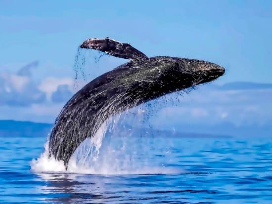 Hawaii_Maui_Lahaina_humpback whale_shutterstock_1060138004
