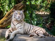 Singapore_Zoo_White tiger_shutterstock_454762963