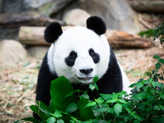Singapore_Zoo_Panda_shutterstock_744794296