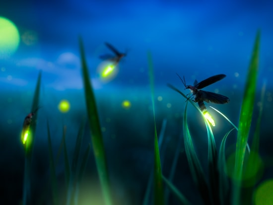 Generic Photos_Animal_Fireflies_shutterstock_1172936455