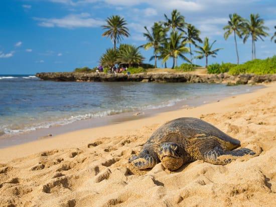 TurtleontheBeach_Haleiwa_NorthShore_Oahu_Hawaii_shutterstock_704579812