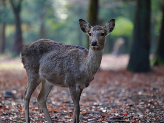 東大寺の鹿①