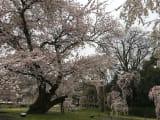 霊宝館の桜