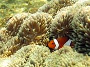 浮潛中遇見的小丑魚