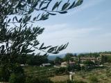 ブドウ畑とオリーブの木