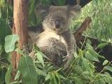 間近でコアラが見れちゃう