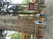 香林神木(横向きしか掲載できず;樹齢約2000年で屋久島の紀元杉より大きく元気そう)