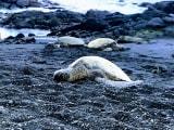 Black Sand Beachのウミガメ