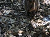 大きいネズミでクォッカです!