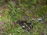 アマミノクロウサギ1