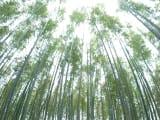 嵐山の竹林は美しかったです