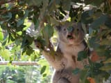 動物園には可愛いコアラがいましたよ。