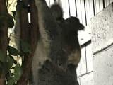赤ちゃんおんぶコアラ