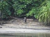 浦内川ボート遊覧でイノシシも見れました。本土より小さくてかわいいです。