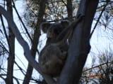 最初に見た野生のコアラです