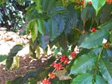 コーヒー農園、コーヒーの赤い実が美しい