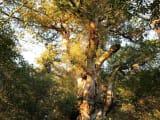 朝の縄文杉