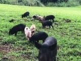 Wild pigs we saw