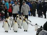 ペンギンの散歩です。外国のおばさんが近づきすぎて注意されていました。