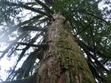 メヴィウスの杉