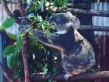 コアラは見やすい目線の高さで近くから見れます。