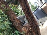 爆睡中?のコアラ