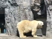 動物園明星的北極熊!