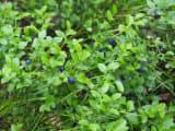 森の中のブルーベリー