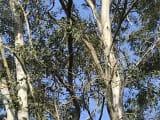 わかりにくいですが、高~い木の上の方に、コアラが!!