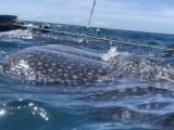 こんなに間近でジンベエザメが見られます!(近すぎてびっくりします)