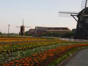 日本のチューリップ畑と風車:ハウステンボスにて
